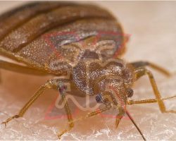 How to get rid of bedbugs effectively